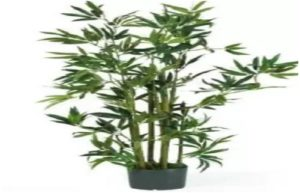 Bambusa ventricosa