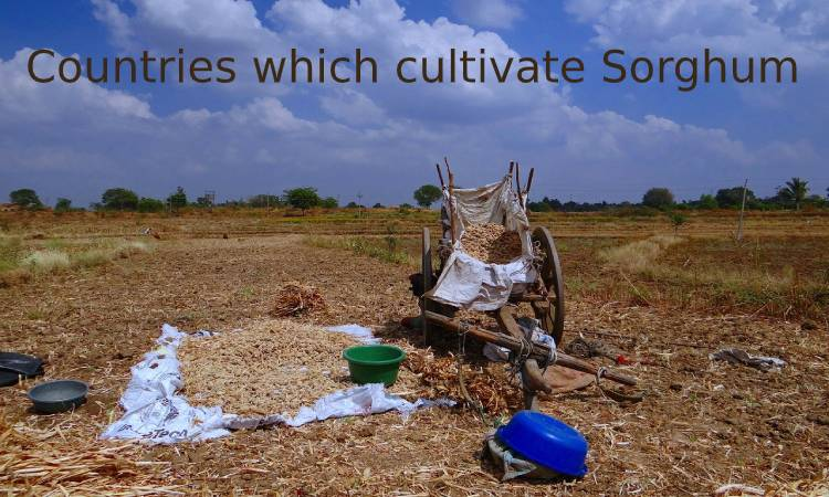 Countries which cultivate Sorghum