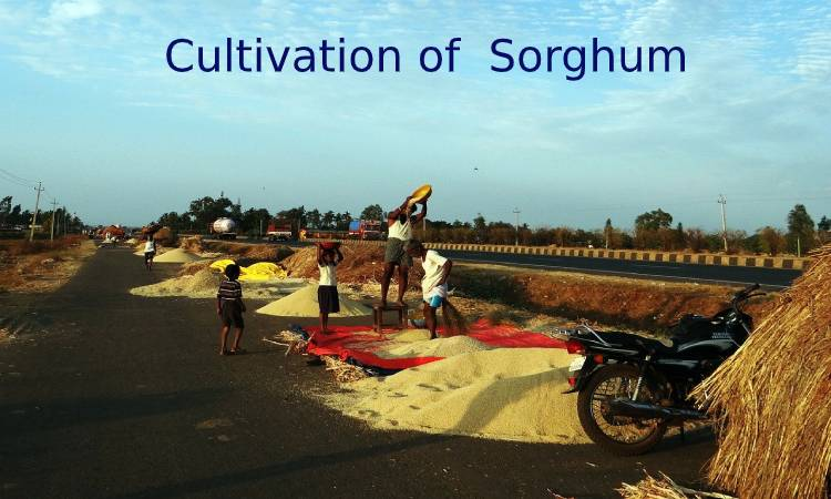 Cultivation of Sorghum