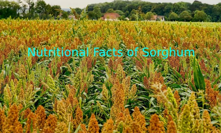 Nutritional Facts of Sorghum