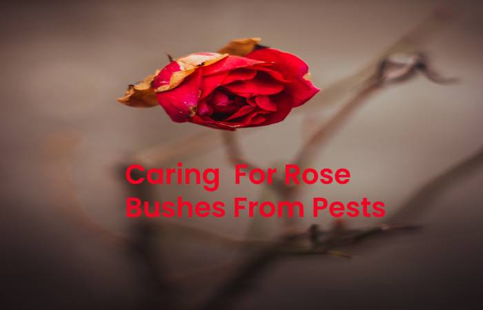 Caring for Rose Bushes from Pests