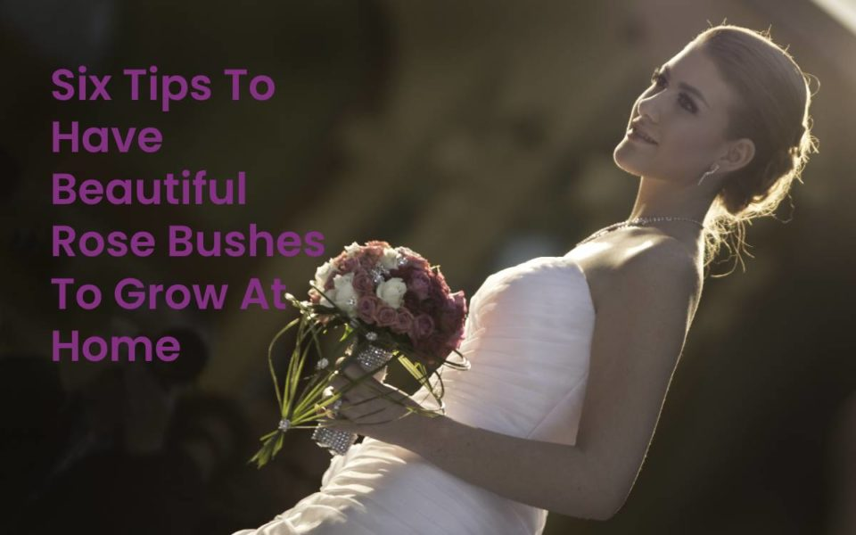 Six Tips To Have Beautiful Rose Bushes To Grow At Home