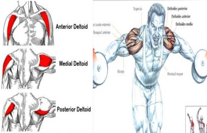 Anterior middle and posterior