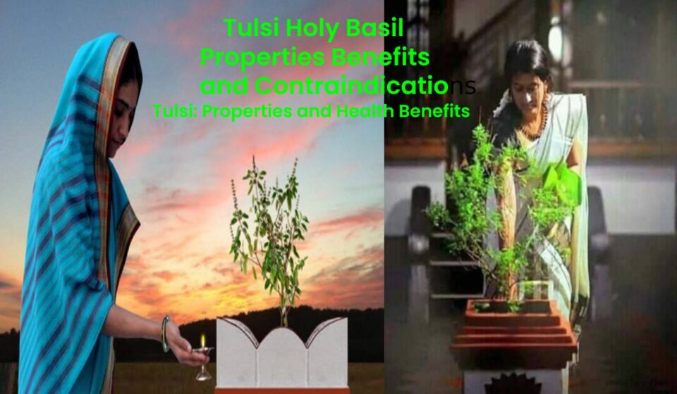 Tulsi Properties and Health Benefits